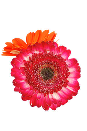two natural red and orange gerbera flower isolated over pure white background Stock Photo - 10690741