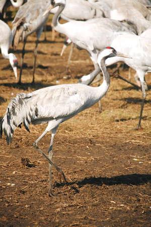 wild birds: common crane (latin: grus grus) life on field Stock Photo - 11081439
