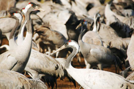 wild birds: common crane (latin: grus grus) life on field photo