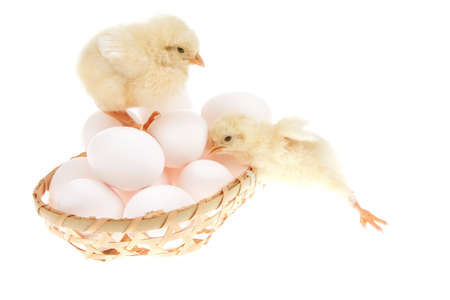 cute live little baby chicken inside wicked basket isolated on white background on white eggs photo