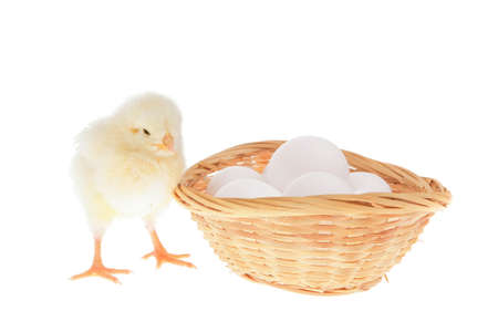 tender live little baby chicken on white eggs inside wicked basket isolated over white background photo