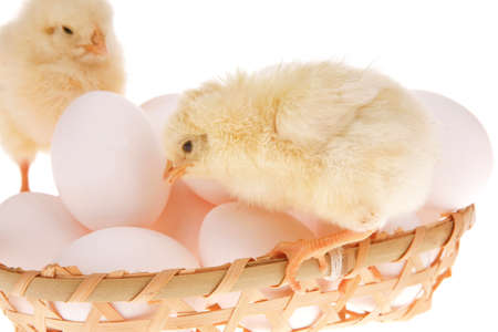cute live little baby chicken inside wicked basket isolated on white background on white eggs Stock Photo - 13317318