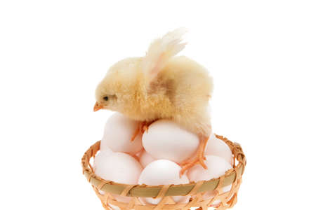 cute little baby chicken on white eggs inside wicked basket isolated over white background Stock Photo - 14702158