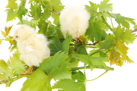 Cute little baby chicken on green leaves against white background photo