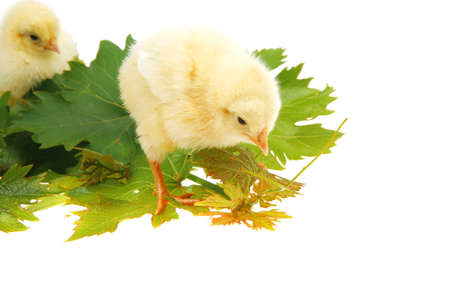 tender live little baby chicken isolated on white background on green leaves Stock Photo - 15008356