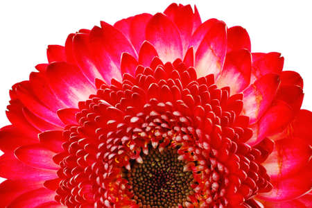 botan: natural red gerbera flower isolated over pure white background Stock Photo