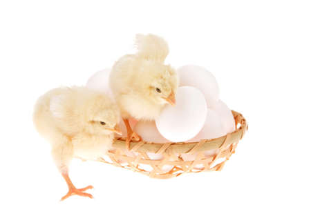 live little chicken animal on white eggs inside wicked basket isolated on white background Stock Photo - 15671805