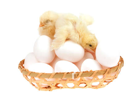 cute little baby chicken on white eggs inside wicked basket isolated over white background photo
