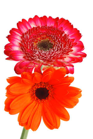 two natural red and orange gerbera flower isolated over pure white background Stock Photo - 16498351