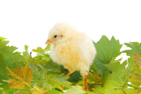 live little chicken animal isolated on white background on green leaves Stock Photo - 16989862