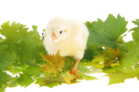 Cute little baby chicken on green leaves against white background Stock Photo - 16989955