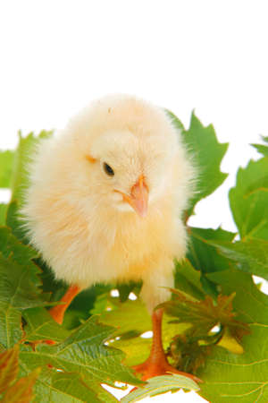 stock breeding: Cute little baby chicken on green leaves against white background
