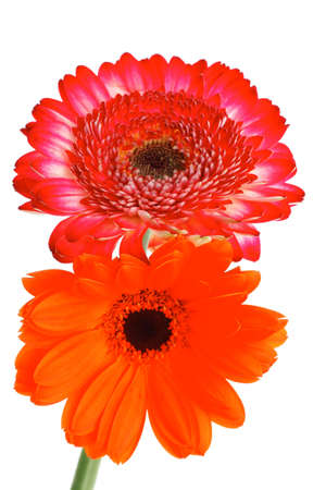two natural red and orange gerbera flower isolated over pure white background Stock Photo - 18916506