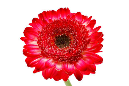natural red gerbera flower isolated over pure white background Stock Photo - 18932245