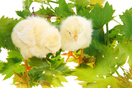 cute live little baby chicken isolated on white background on green leaves photo