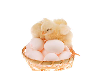 hatched: cute live little baby chicken inside wicked basket isolated on white background on white eggs Stock Photo