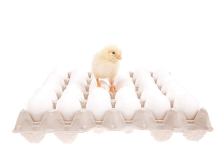 cute live little baby chicken over gray tray isolated on white background on white eggs photo