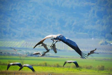 wild birds: common crane (latin: grus grus) life on field photo