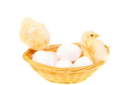 live little chicken animal on white eggs inside wicked basket isolated on white background photo