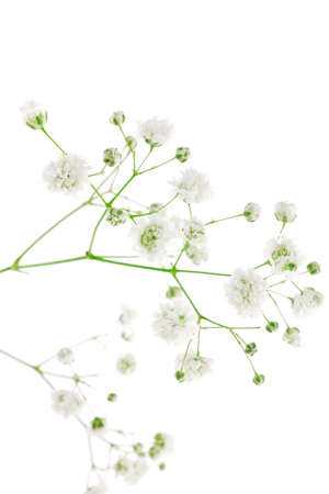 carroty: small white flowers isolated on white