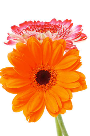 botan: two natural red and orange gerbera flower isolated over pure white background