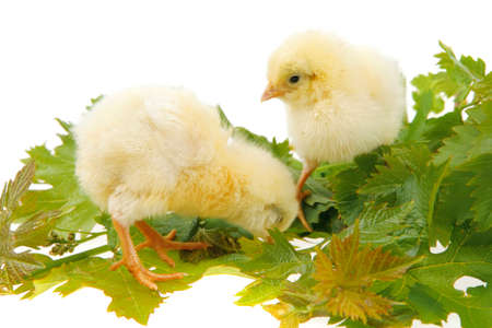 feathery: live little chicken animal isolated on white background on green leaves