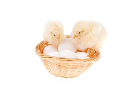 wicked: cute live little baby chicken inside wicked basket isolated on white background on white eggs Stock Photo
