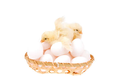 wicked: live little chicken animal on white eggs inside wicked basket isolated on white background Stock Photo