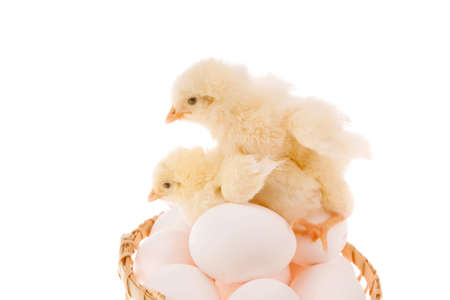 wicked: cute little baby chicken on white eggs inside wicked basket isolated over white background