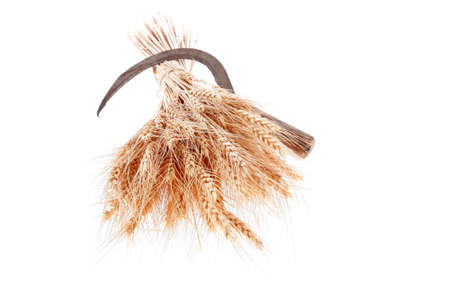 sickle: bunch of mown wheat ears with vintage handmade reaper hook sickle isolated on white background