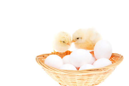 cute live little baby chicken inside wicked basket isolated on white background on white eggs Stock Photo