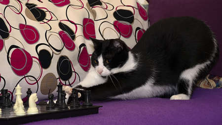 stool: The smart black and white cat playing chess, difficult choice before the next move. Stock Photo