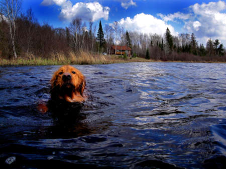 Oscar takes a swim in the cold spring water of Spider Lake in northern Wisconsin.