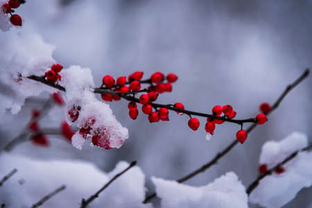 Red berries covered with snow