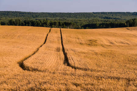 Wheat field in Northern Wisconsin.