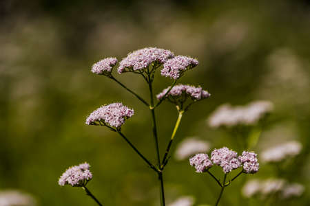Queen Anne's lace in Door County, Wisconsin