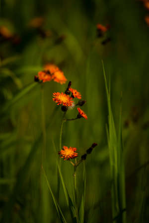 Orange hawkweed wildflowers