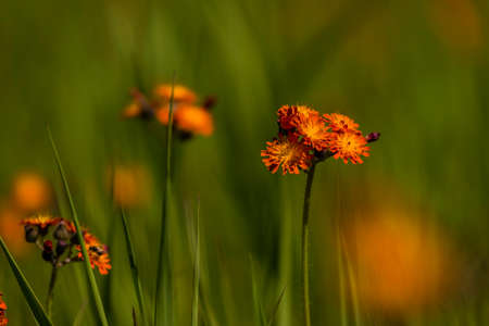 Orange hawkweed wildflowers Фото со стока - 115202297