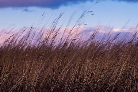 Wild grasses blowing in the wind. Фото со стока