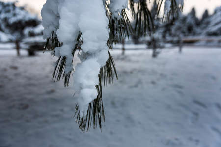 Snow covered pine tree branch in the University of Wisconsin Arboretum. 版權商用圖片