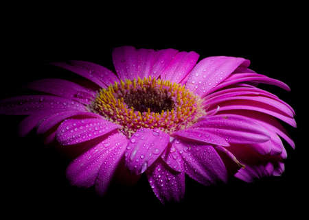 vibrant purple gerber daisy with water droplets
