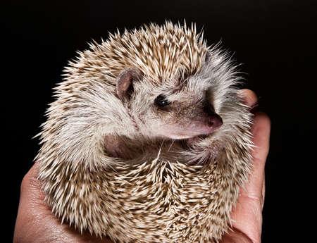 houder zijn van een stekelige huisdier hedge hog Stockfoto