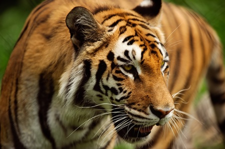 A tiger paces in its lair in horizontal  photo