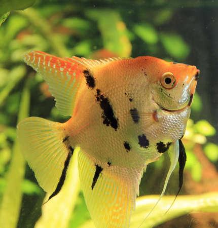 buntbarsch: gut aussehende Kaiserfische in hellen Aquarium Lizenzfreie Bilder