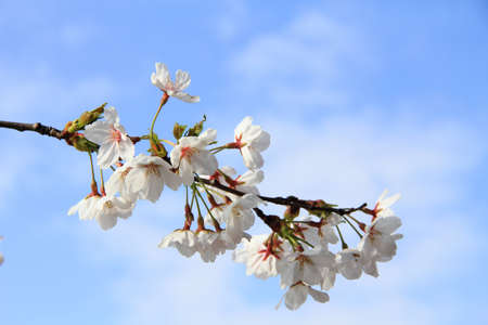 white cherry blossom on blue sky background photo