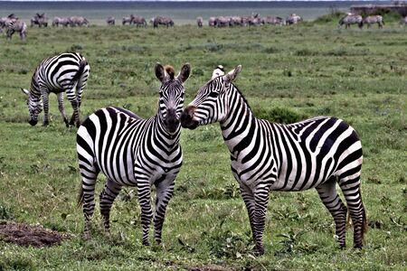zebra friends on the serengeti 스톡 콘텐츠