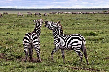 zebras playing on the serengeti