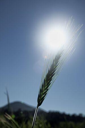 Single wheat head backlit by sun blue sky