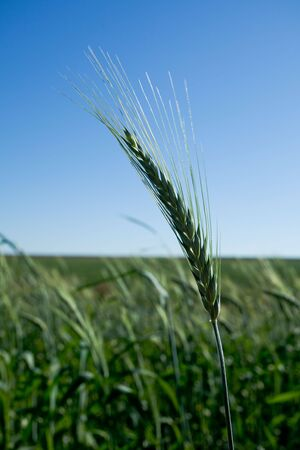 Unripe green wheat head isolated in a crop