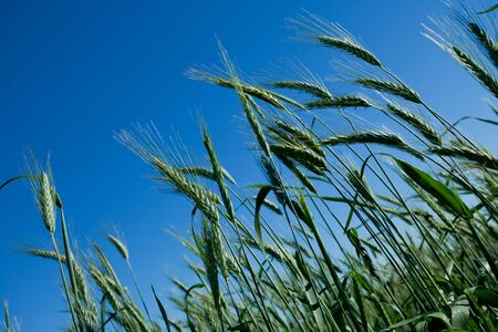Multiple unripe, green wheat heads against a blue sky Stock Photo